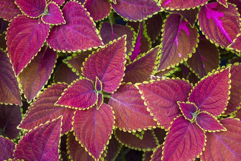 Painted Nettle is a great container plant with fantastic leaves.