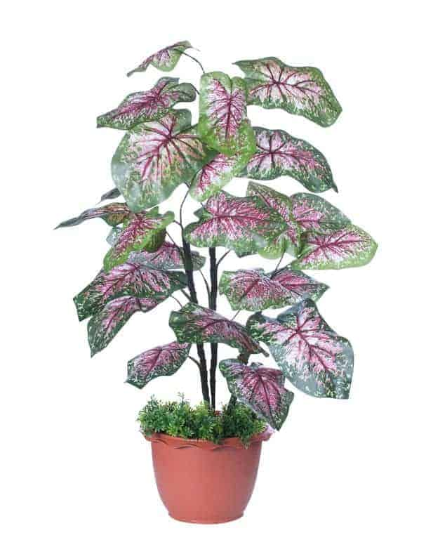 Each type of elephant ear plant comes in a distinct color.