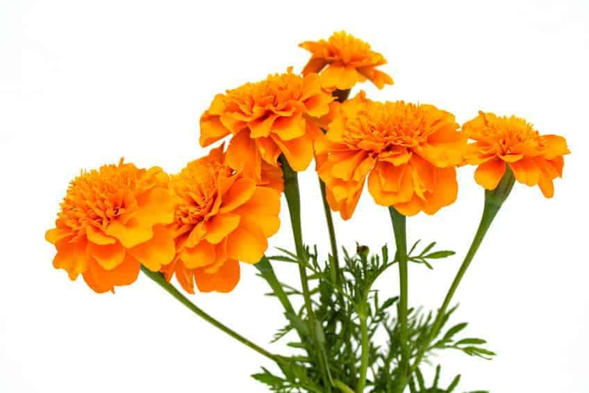 Marigolds are one of the best options for container gardens.