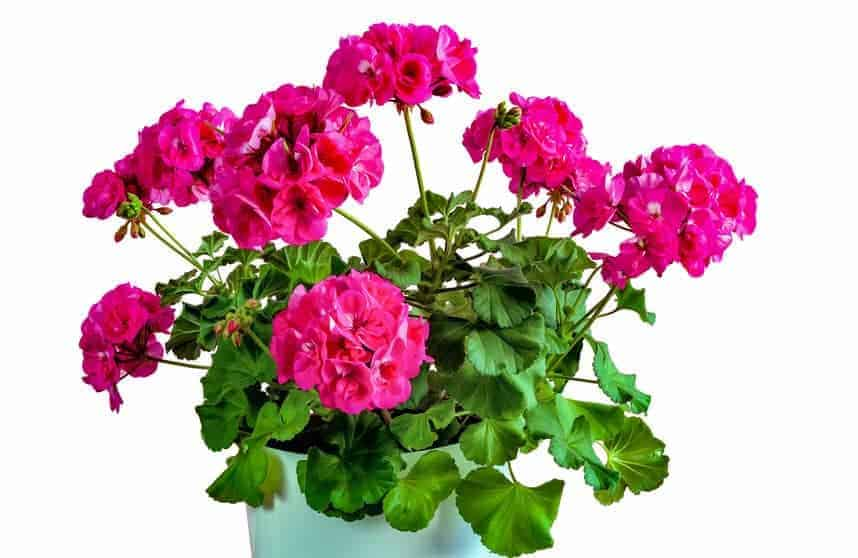 Geraniums give impressive blooms that are colorful and fragrant.