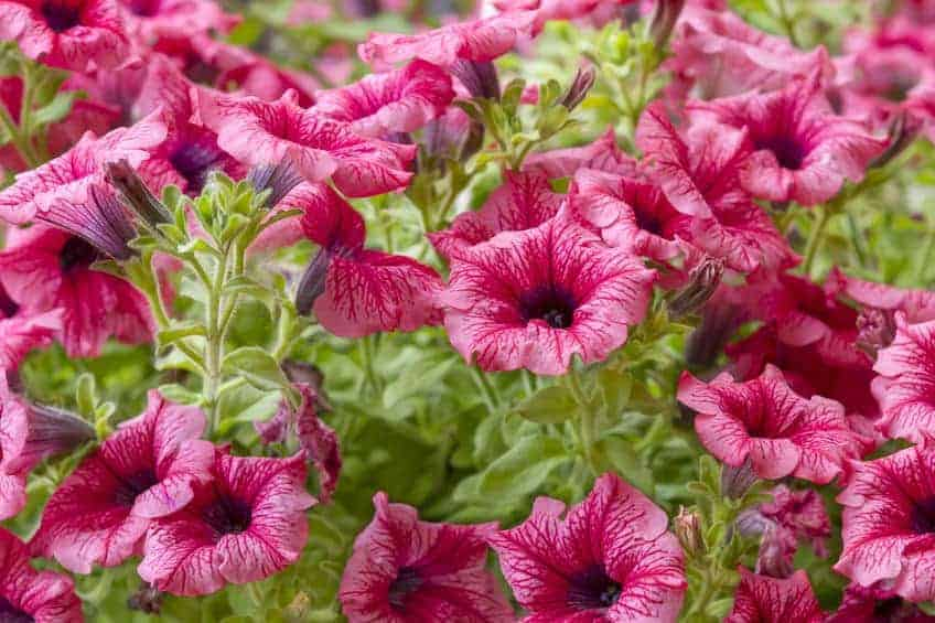 Petunias come in shades of pink, purple, and white and can last for most of the growing season.
