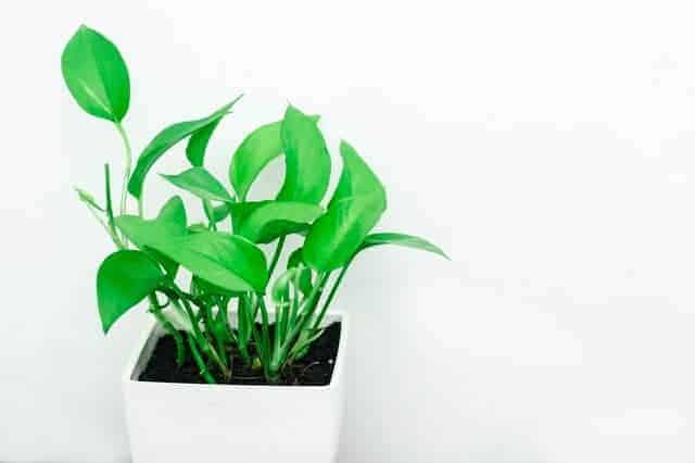 Take your cuttings from a young and growing plant.